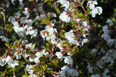 Närbild på 'Kojou-no-mai'. Foto: Sylvia Svensson