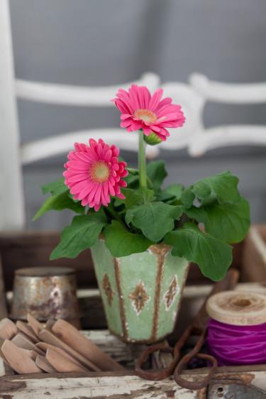 Gerbera, _Gerbera x cantabrigiensis_, är en elegant färgklick.   Foto: Blomsterfrämjandet/Minna Mercke Schmidt