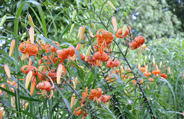 Tigerlilja, _Lilium lancifolium var. splendens_.