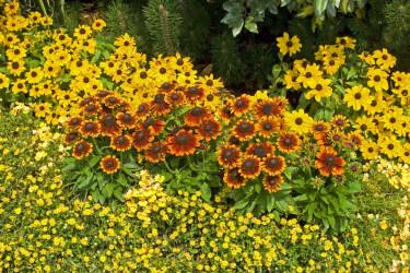 Vilken färgklick! Plantering med sommarrudbeckia 'Toto Gold' och 'Toto Rustic'.  Foto Blomsterfrämjandet