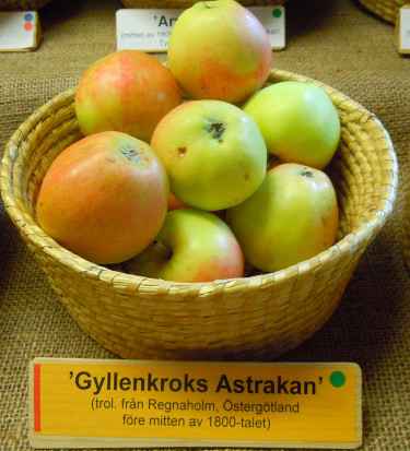'Gyllenkrooks Astrakan'. Foto: Sylvia Svensson