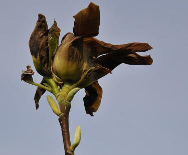 Frostskadad Magnolia 'Elisabeth'. Foto: Bernt Svensson