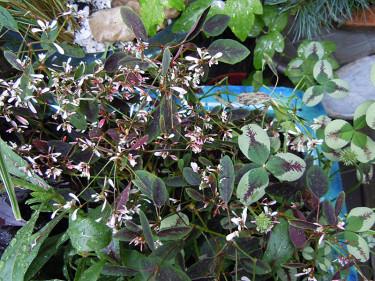 Mörkbladig Euphorbia 'Breathless Blush' med Trifolia 'Dragon's Blood' Foto + arr: Sylvia Svensson
