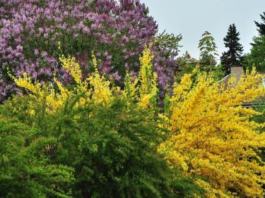 Forsythia är vacker i samplanteringar.