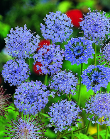 Blåparasoll, Trachymene caerulea'Blue Lace'