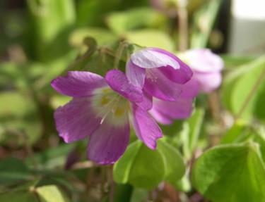 Den rosa harsyresorten _Oxalis acetocella_ 'Rubra'. Foto: Sylvia Svensson