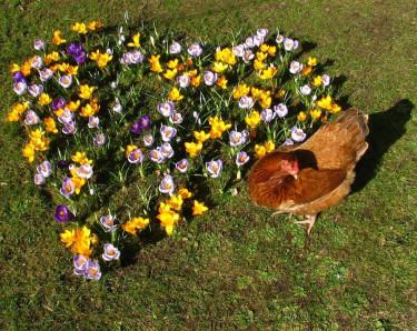 Ett vackert hjärta av krokusar i solen - där vill man förstås stanna och njuta!  Foto: Myosotis