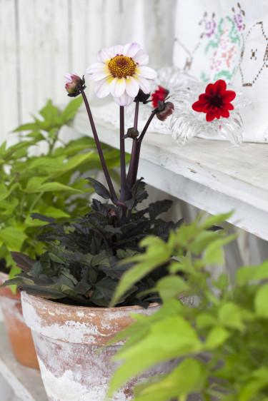 Rödbladig dahlia. Foto: Blomsterfrämjandet/Anna Skoog