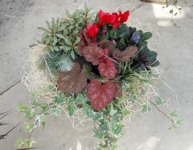 Röd cyklamen, rödbladig alunrot, en mörkbladig revsuga, en silvrig mandeltörel, en liten pinjeplanta och ett gräs, ochimastarr. En ljus murgröna i kanten och lite spånull som dekoration. Foto: Sylvia Svensson