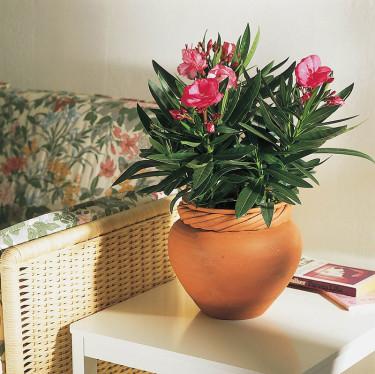 _Nerium oleander_.