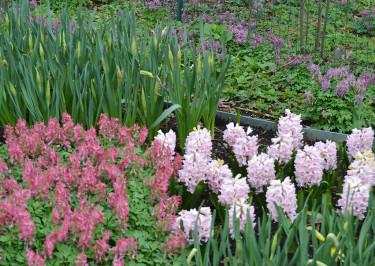 Nunneörter, rosa hyacinter och narcisser i vårrabatten. Foto: Sylvia Svensson