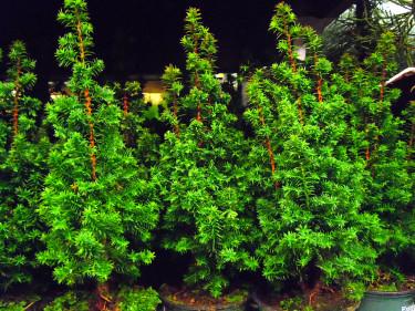 Minicypress, _Chamaecyparis thyoides_ 'Exellent Point'.  Foto: Sylvia Svensson