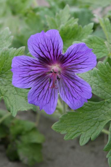 Rikligt blommande nävan 'Rosemoor' _Geranium x magnificum_. Beställ här: [Perennerbjudande](http://erbjudande.odla.nu/bpr/?p=1)