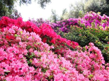 Rododendron exploderar i färg mot allt det gröna.