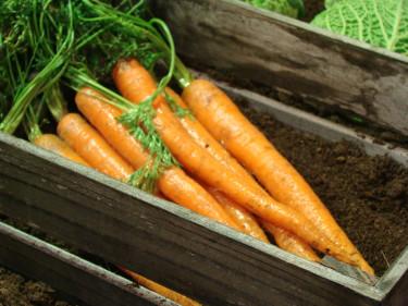 En fin skörd av morötter är möjlig även i Norrland men kräver eftertanke. Undvik rena vintersorter som inte hinner utvecklas. Foto: Katarina Kihlberg