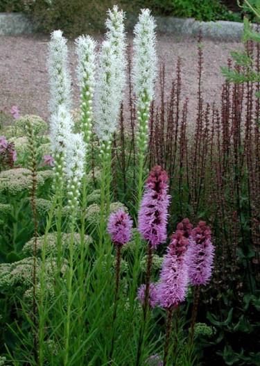 Här har man använt två olika sorter av rosenstav, den vita _Liatris spicata_ 'Alba' och den kallrosa 'Kobold'.