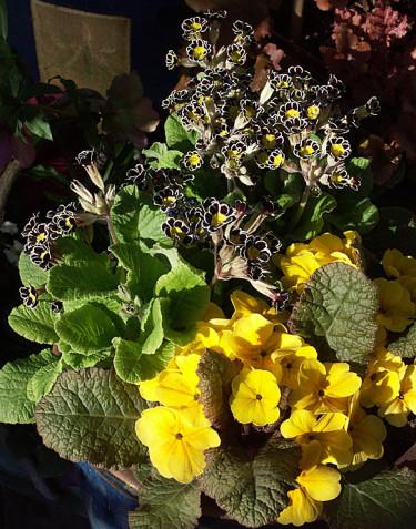 _Primula victoriana_ 'Silver Lace' och mörkbladig jordviva.