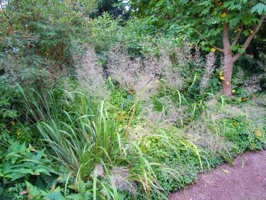 _Achnaterum calamgrostis_, silvergräs. Foto: Sylvia Svensson