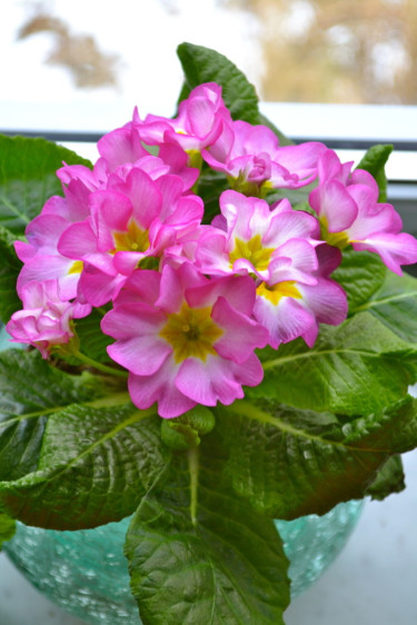 Primula 'Suze' Foto: Blomsterfrämjandet