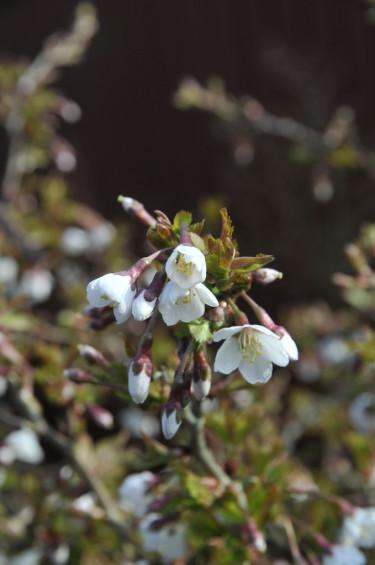 _Prunus incisa_ 'Kojo-no-mai' blommor.