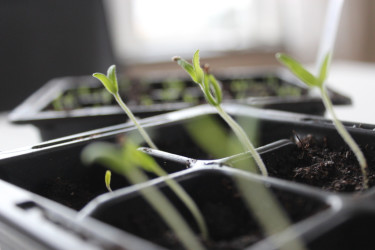 Späda små plantor.