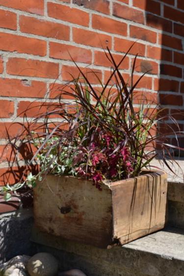 Fjäderborstgräs, _Pennisetum setaceum_, 'Rubrum', palettblad och silvernjurvinda i entrén.  Foto: Blomsterfrämjandet