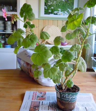 Lång och tanig pelargonplanta efter vintern.Foto: Sylvia Svensson