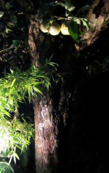 En knotig trädstam kan bli hur vacker som helst när den lyses upp i mörkret.