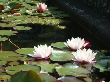 Näckrosor i en damm är vackert, fast du kan njuta av näckros utan massor med vatten.