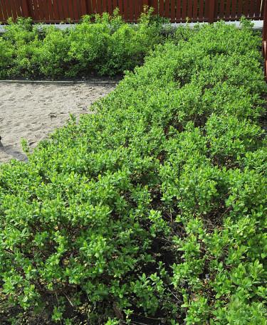 Blåbärstry som släntplantering intill lekplatsen. Foto: Bernt Svensson