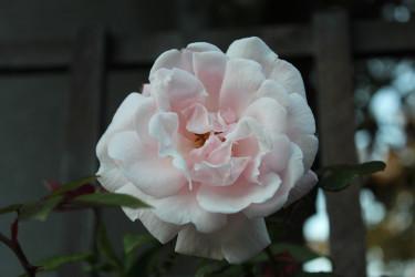 """Rosen """" New Dawn"""" blommar än!"""
