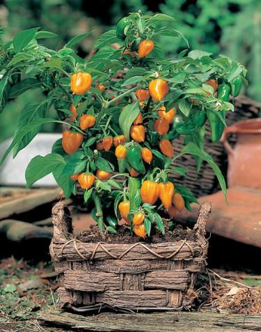 Parika 'Orange Baby'. Foto: Mr. Fothergill's