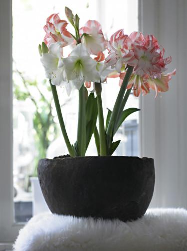 Rosa och vita amaryllis i krukaFoto: Blomsterfrämjandet