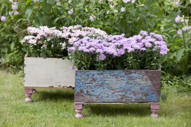 Aster är en klassiker i sensommarträdgården. Foto: Floradania