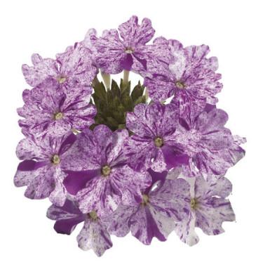 Verbena Donalena Twinkle 'Purple'.