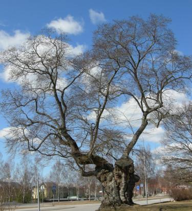 Sockerdricksträdet såhär års.