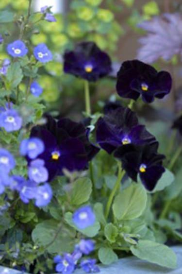 """Svarta penséer, här med """"mormors glasögon"""" eller teveronika _Veronica chamaedrys_ Foto: Blomsterfrämjandet"""