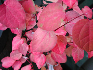 Rödbladig katsura, Cercidiphyllum japonicum 'Red Fuchs'. Foto: Sylvia Svensson
