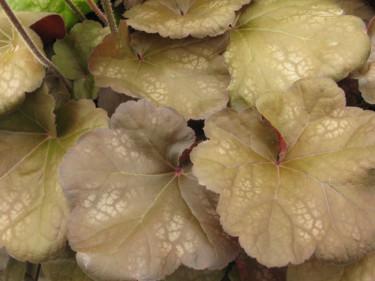 Heuchera 'Brown Sugar' med sina dämpade färger är oerhört vacker. Foto: CNB New Plants