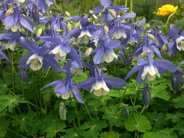 _Aquilegia flabellata_, japansk akleja, 'Spring Magic Blue'. Foto: Sylvia Svensson
