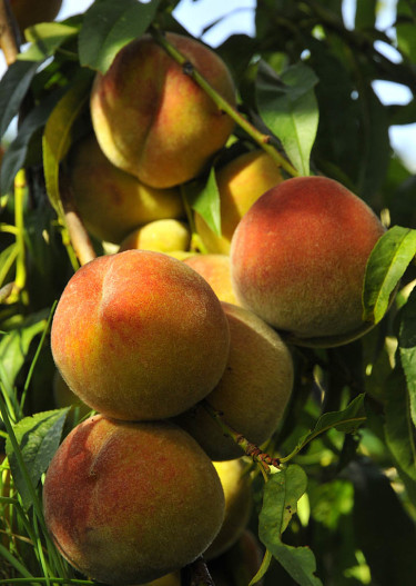 Solmogna persikor.Foto: Sylvia Svensson