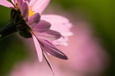 En ljuvligt rosa växt. Prästkrage kanske, gissar Geert och fortsätter; jag har bott här i 8 år och har fortfarande problem med växtnamnen.