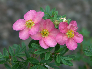 Tok, _Potentilla fruticosa_ 'Pink Princess'. Foto: Sylvia Svensson