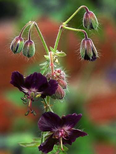 _Geranium phaeum_, brunnäva.  Foto: Sylvia Svensson