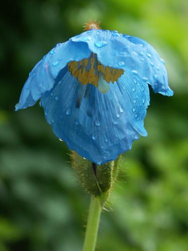 Blå bergvallmo, _Meconopsis betonicifolia_. Foto: Sylvia Svensson