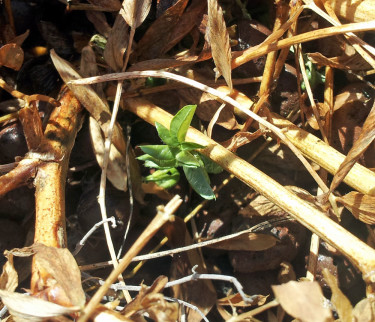 Lakritsroten vecklar ut sitt första blad.
