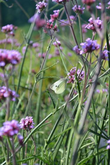 Jätteverbena och fjäril.  Foto: Blomsterfrämjandet