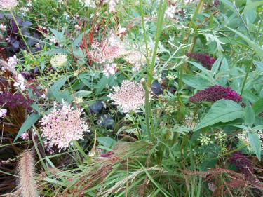 Sällskapsväxter till gräs: ris, Oryza sativa 'Black Madrass', vildmorot, fjärilsbuske mm