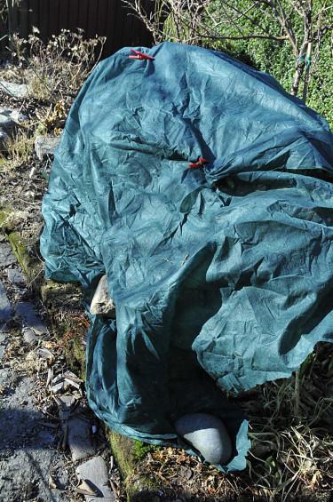 Vinterskyddsväv över rododendron.  Foto: Sylvia Svensson