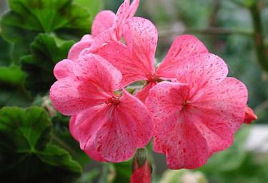 _Pelargonium_ 'Raspberry Ripple'.